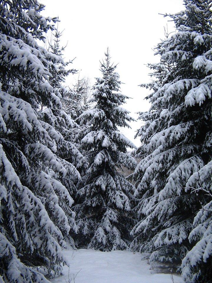 Lumine kuusik