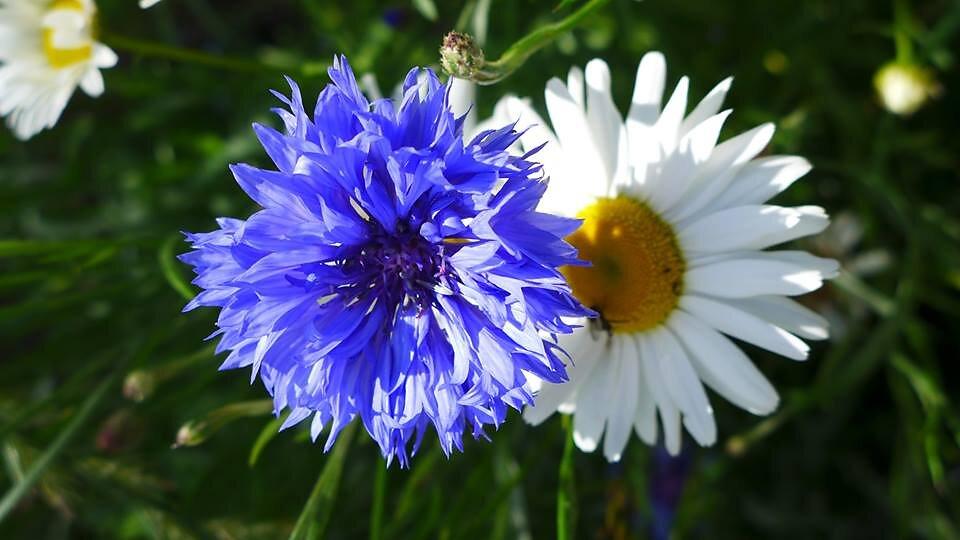Põllul lilled