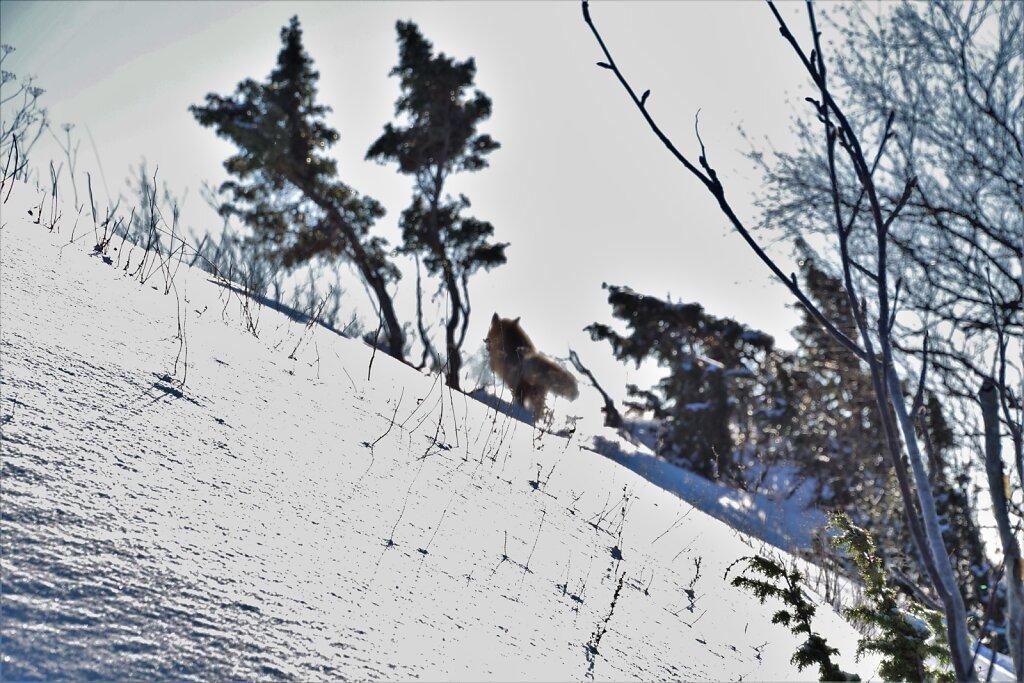Talvine-maastik-ja-pogenev-rebane.JPG